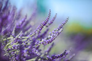 Buy Fresh Lavander near ABQ